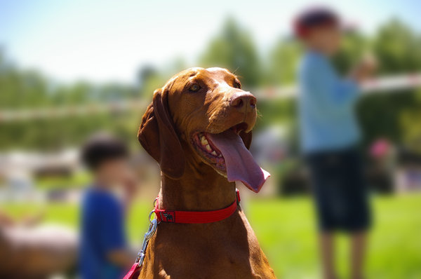 Happy Hungarian Vizsla: This happy dog is having a great day in the park.