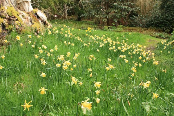 Daffodil wood: A wood in springtime, with daffodils