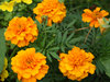 Orange flowers