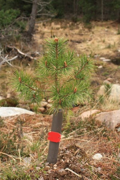 Pine tree seedling: Pine tree seedling