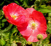 Poppy collection 5