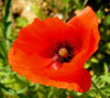 Poppy collection 3