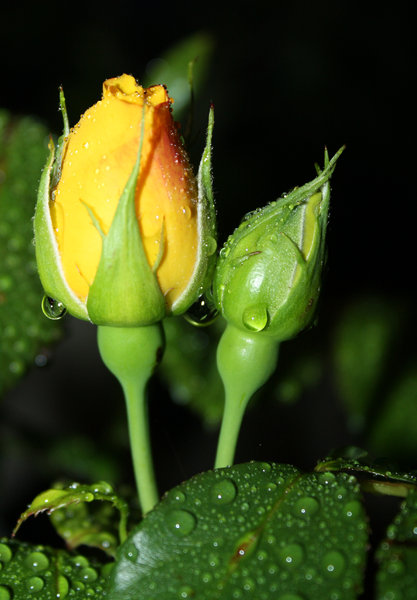 Wet Rosebuds: Rosebuds after the rain