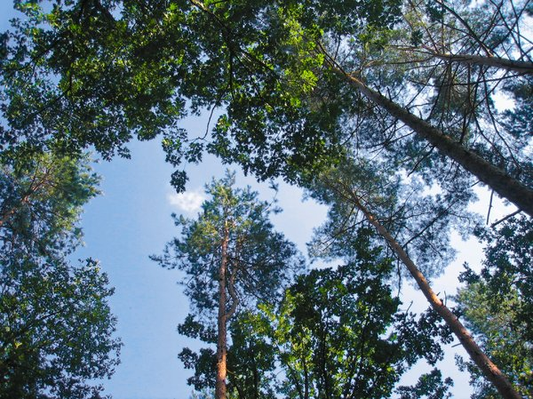 tall forest trees: tall forest trees