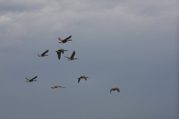 geese in flight: eight canadian geese in flight.