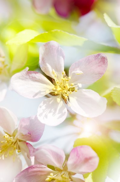 The softest blossoms: Vivid soft spring apple blossom