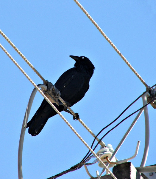 Free stock photos - Rgbstock - Free stock images | livewire crow ...