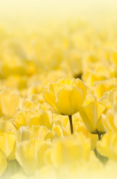 Yellow tulips: yellow tulips