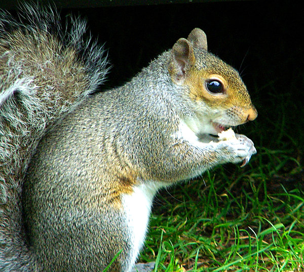 squirel: close up shot of a squirel eating a piece of bread