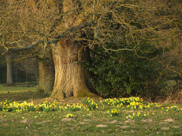 old oak tree: a 400 year old oak tree fringed by early spring daffs set in rolling parkland