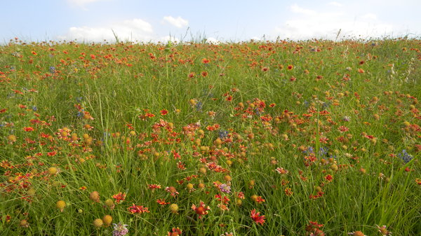Texas Prairie: Some wildflowers (red blanket-flower, and bluebonnets) somewhere between Waco and Mexia, Texas.