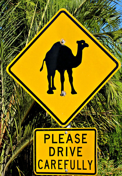 camel care: sign warning motorists of camels in the area