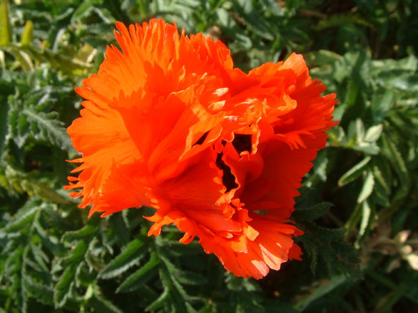 Red Poppy: Red Poppy in the sun
