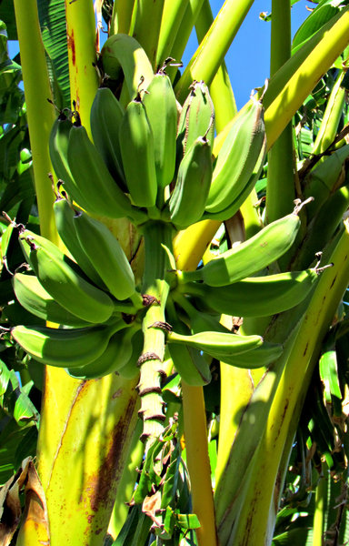 left hanging: green growing bananas with some left on the stem