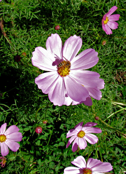 the pollinator: bee pollinating garden daisy-like pink flowers