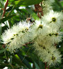white bottle brush