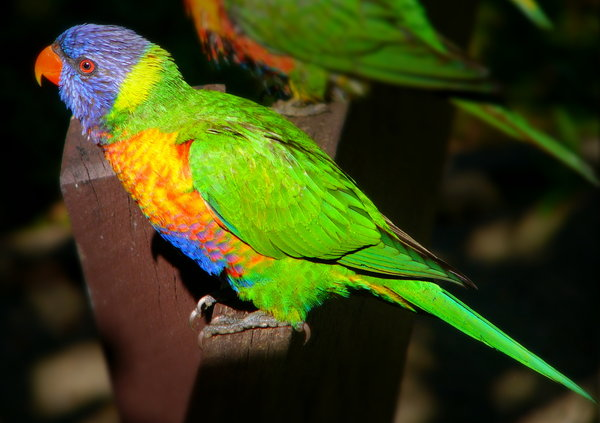 Rainbow Lorikeet: Rainbow lorikeet relaxing in the sun. I used to have a flock of about 20 to 50 visit me every day. Beautiful birds with jewel colours. They live on nectar - their natural food - but will eat some seeds and bread. They die if they are fed seeds only.