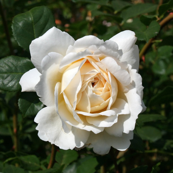 Cream rose: A cream rose in a garden in England.
