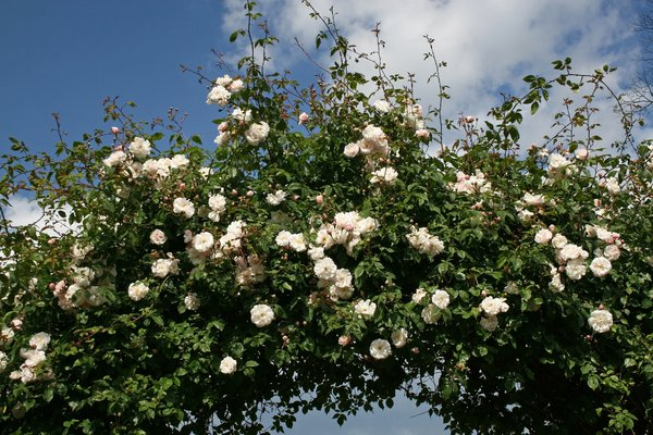 Rose arch: An arch of rambling roses in a garden in England.