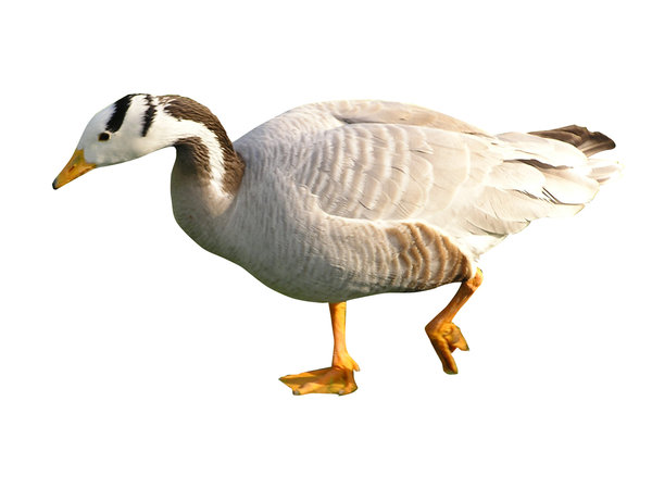 Goose: A goose. Isolated.