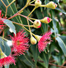 red gumtree blossoms & buds