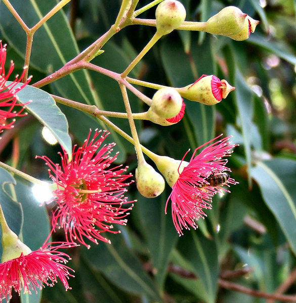 red gumtree blossoms & buds: Australian eucalypts - gum trees - flowers and seed pods