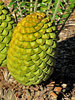 cycad cones2