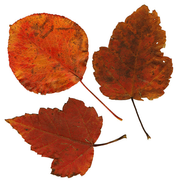 Leaves: Three isolated fall leaves.If you like my artwork,please go to my FacebookBusiness Page and like it:Billy Frank Alexander Design~ God Bless You! :-)~ Billy