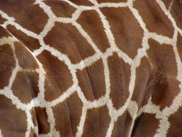 giraffe skin tones5: side & hide of a giraffe