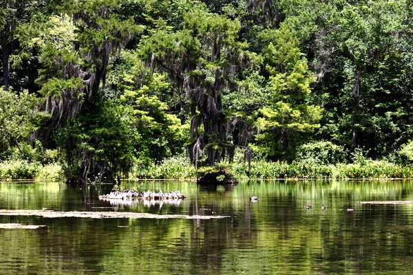 Florida Backwoods: Scenic Florida view. An alligator is quite interested in some ducks!