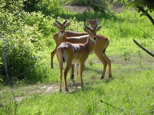 antelopes: photo taken in Ghana