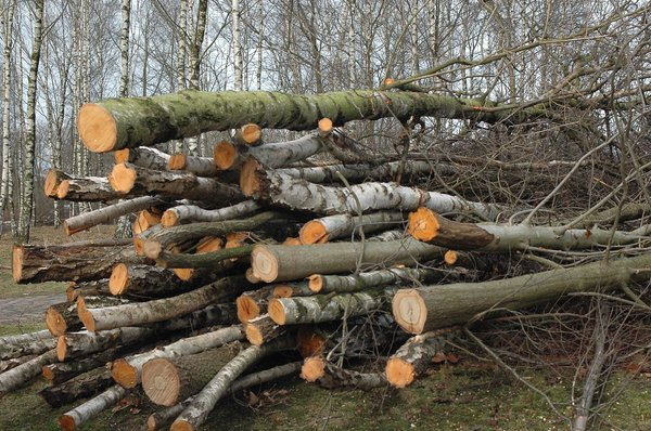 fire wood: a stack of cut trees