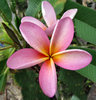 frangipani colour6