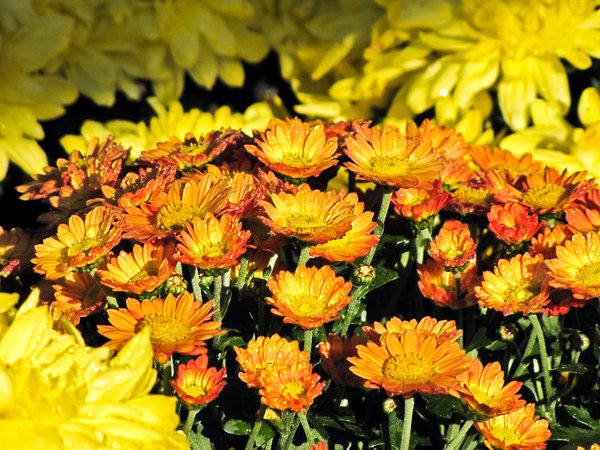 Mums: Mums with water droplets in the morning
