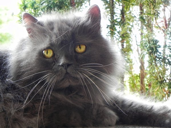 Gray Persian Cat Pictures