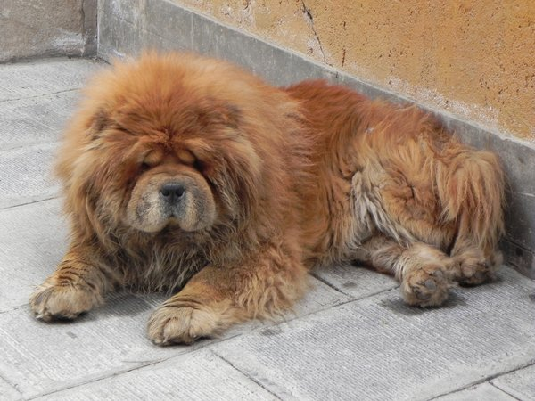 chow chow: none