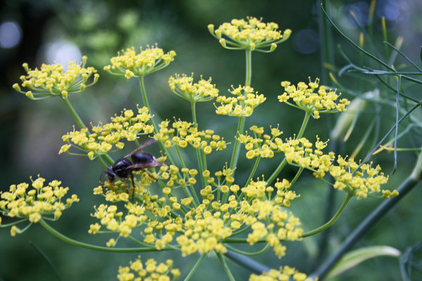 Dill Blossoms: An insect feeding on a dill blossoms.