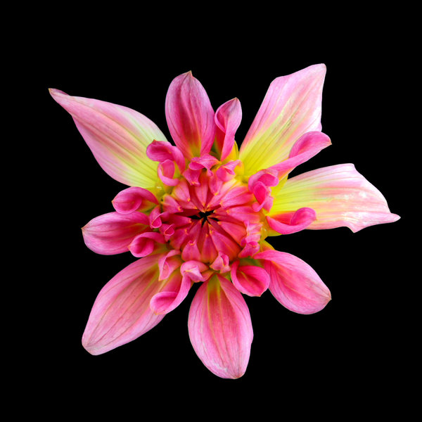 Star shaped dahlia on black : Captures the transluscent qualities and vibrant colours and textures of the dahlia.
