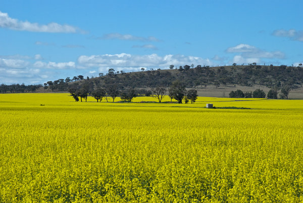 agriculture: a water tank in a canola paddock