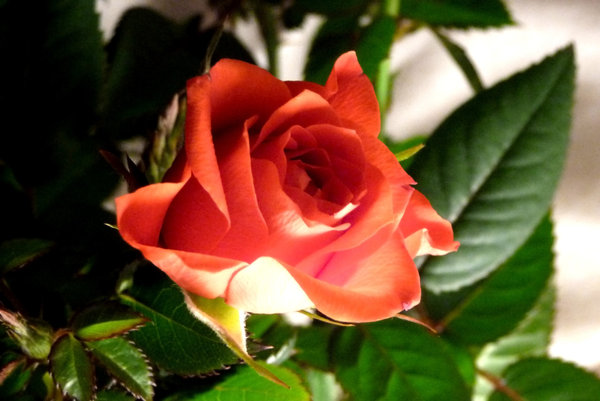 Scarlet rose in subdued light: Scarlet rose lit from below