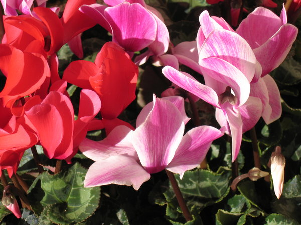 cyclamen: cyclamen