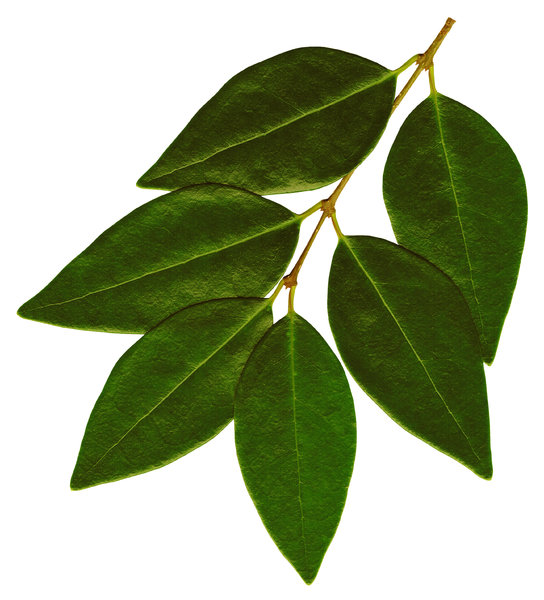 Leaves: A twig from a bush.