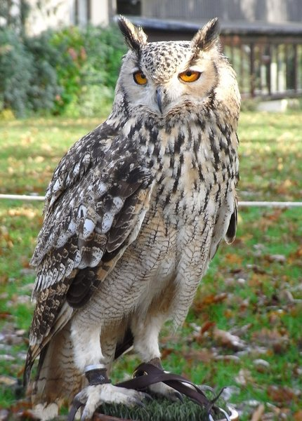 Bengal Eagle Owl: Falconery down in Devon. This owl is the weight of one bag of sugar about 2lbs.