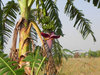 banana tree