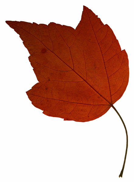 Leaf 17: An isolated fall leaf.