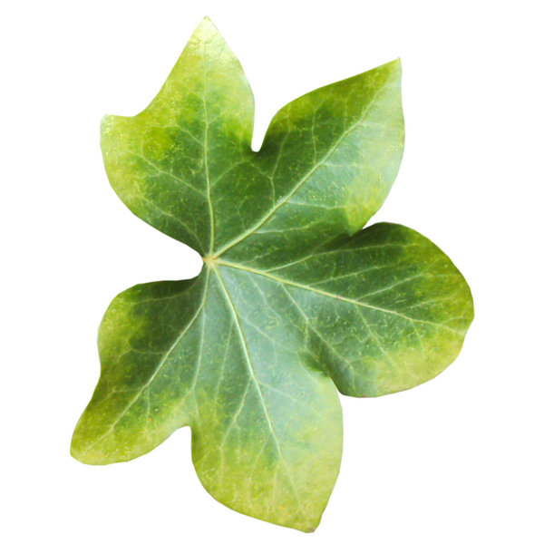 Autumn leaves: Pale green leaf with yellow trim