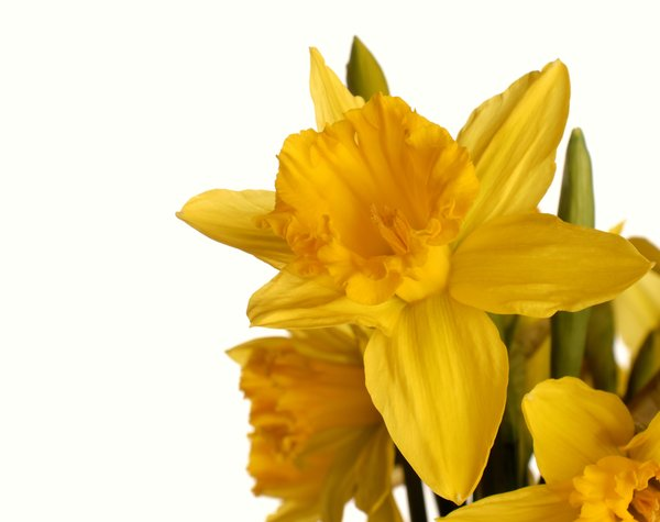 A bunch of daffodils: A bunch of daffodils isolated with white background