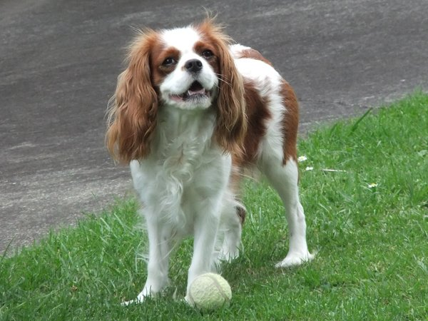 Dog with Ball: A cavalier king charles spaniel playing in the garden