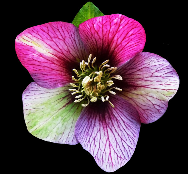 Hellebores in the pink: Rich deep pink and purple hues of the hellebores are more clearly seen on a black background.