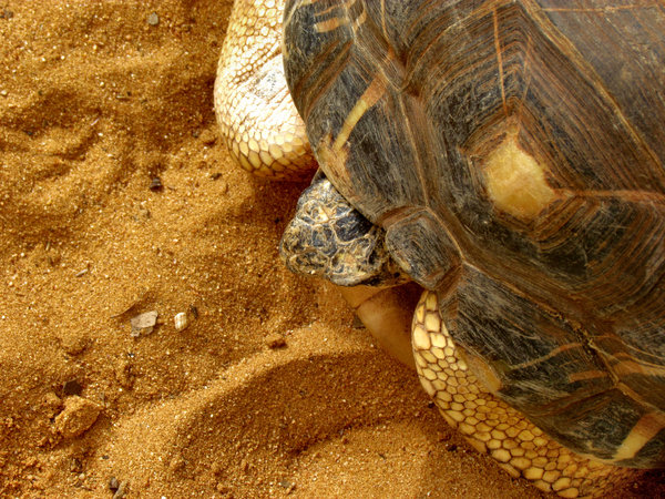slow but steady2: radiated-tortoise holding its head in as it slowly moves forward